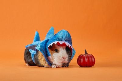 Shark costume for a guinea pig