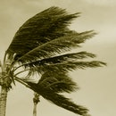 Palm trees blowing in hurricane wind