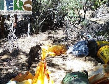Fisher exploring pesticide contaminated area of cannabis grow site