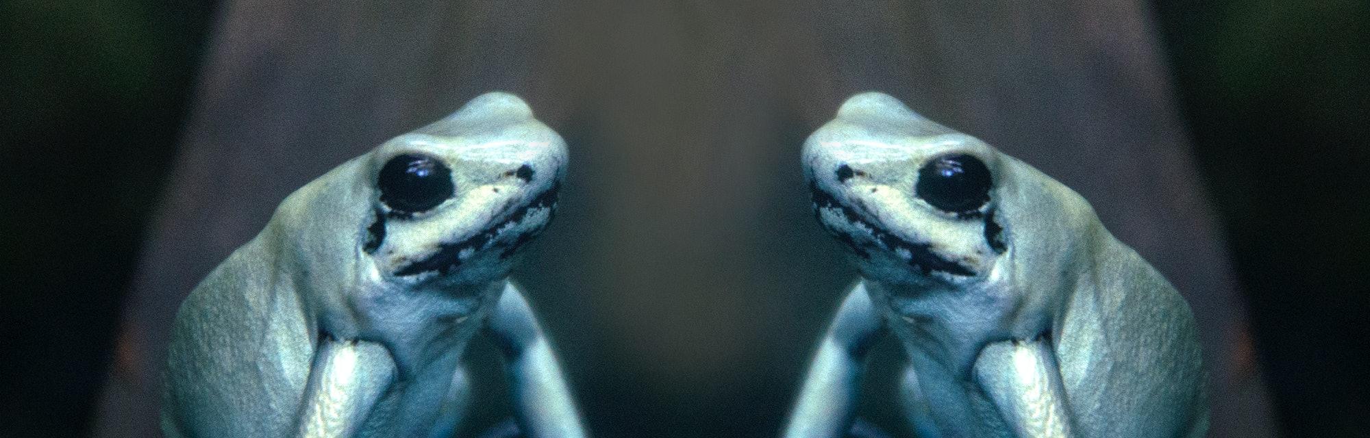 Golden poison dart frogs