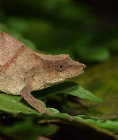 Chapman's pygmy chameleon is one of the world's rarest chameleons, and now clings to survival in sma...