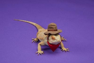 Bearded dragon dressed as a cowboy