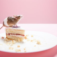 Can fasting ward off infections? Mice study reveals an unexpected link