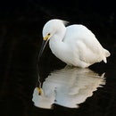 Great white egret looking at reflection