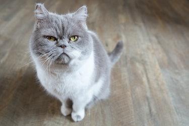 Annoyed cat closeup
