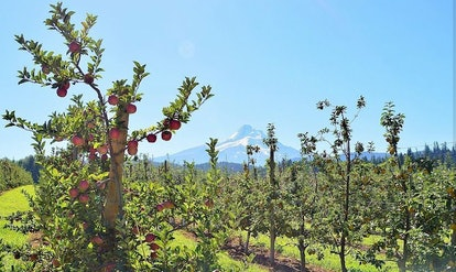 Kiyokawa Family Orchards with snowy mountain in background in Parkdale, Oregon
