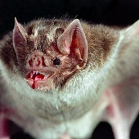 Bloodsucking bats have one thing in common with humans, study reveals