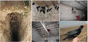 researchers capturing chough in spanish caves to tag them