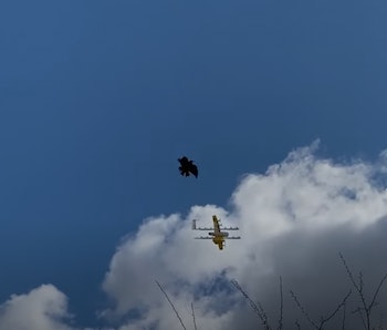 A raven is seen attacking a Wing drone in Australia.