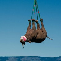 Rhinos: scientists are hanging them upside-down from helicopters – here's why
