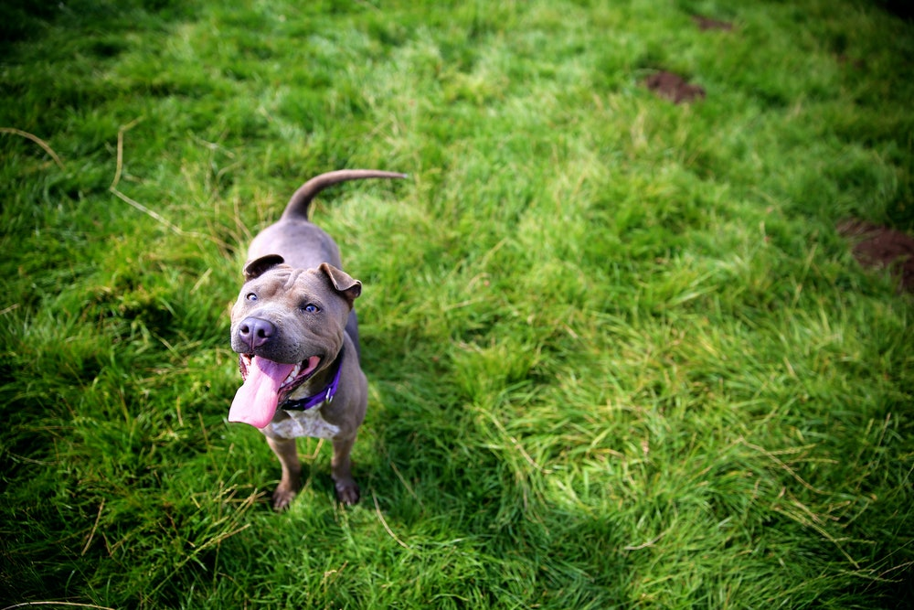 Blue Staffordshire Bull Terrier looking up