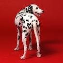 Dalmatian, dog