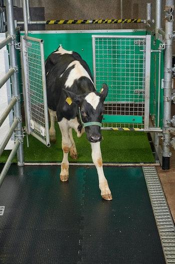The calves exited the pen through a gate.