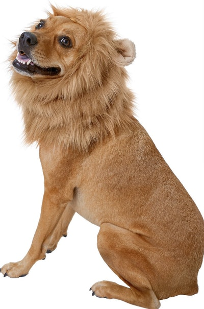 Dog dressed up as Lion with mane