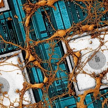 Samsung promo image of rat brain overlain atop a nanoelectrode array
