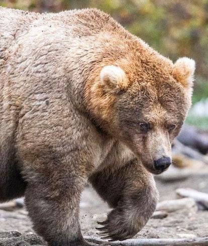 A fat bear named Holly