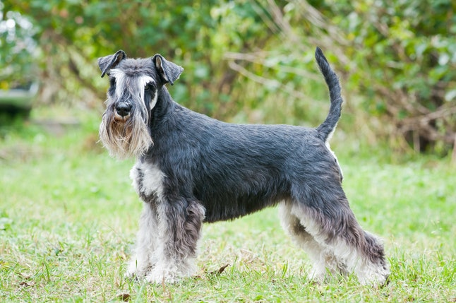 Miniature Schnauzers are one of the best low maintenance dog breeds for people who work full time.