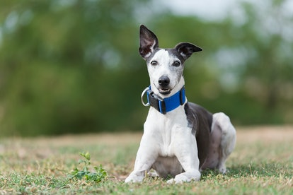Greyhounds are one of the best low maintenance dog breeds for people who work full time.
