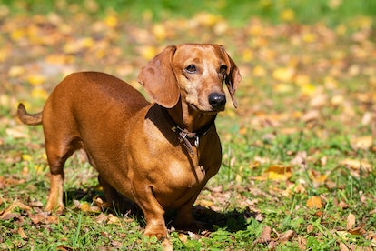 Dachshunds are one of the best low maintenance dog breeds for people who work full time.