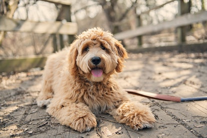 Labradoodles are one of the best low maintenance dog breeds for people who work full time.