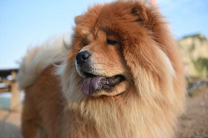 Chow chows are one of the best low maintenance dog breeds for people who work full time.