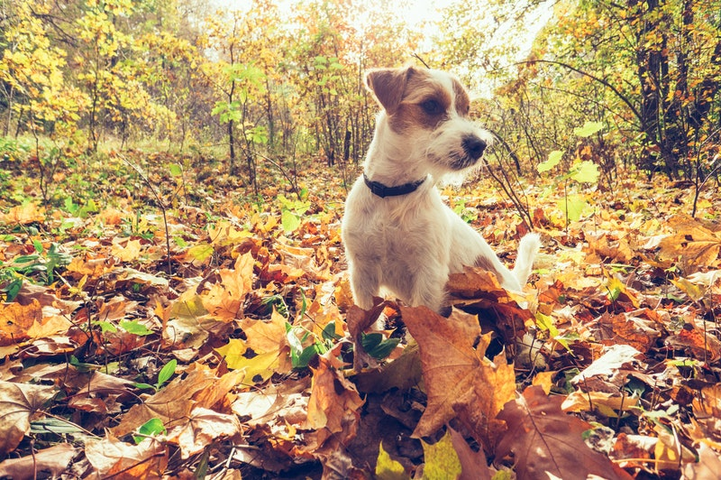 Dog in autumn leaves. Fall