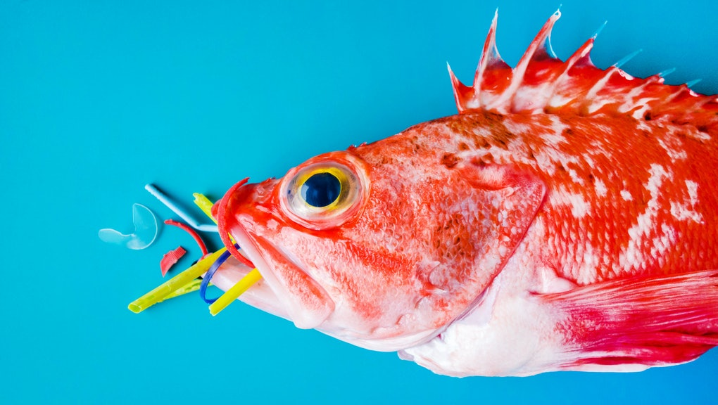 Red fish (Blackbelly Rosefish) on a blue background, eats plastics and microplastics. Concept of pollution in the oceans.