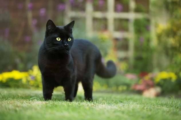 Close up of a black cat on the grass in the backyard