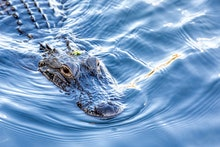 A wild, American Alligator (Alligator mississippiensis) swims toward camera in a central Florida pon...