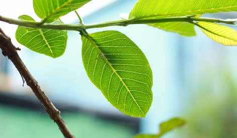 guava tree and leaves