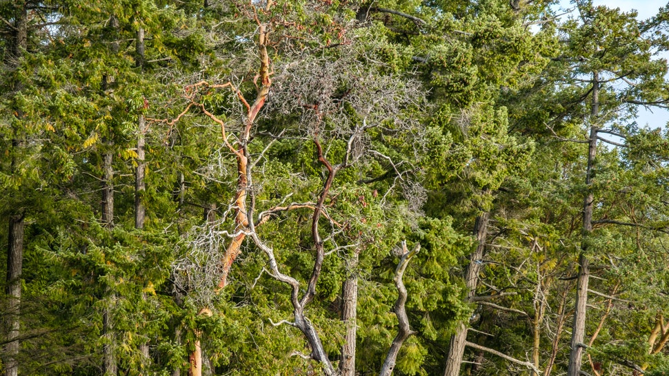 few arbutus trees outside pine forest with leafless branches in the park