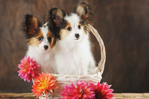 Two puppies papilion in white basket with dahlias on dark brown background. Horizontal.  october dog names
