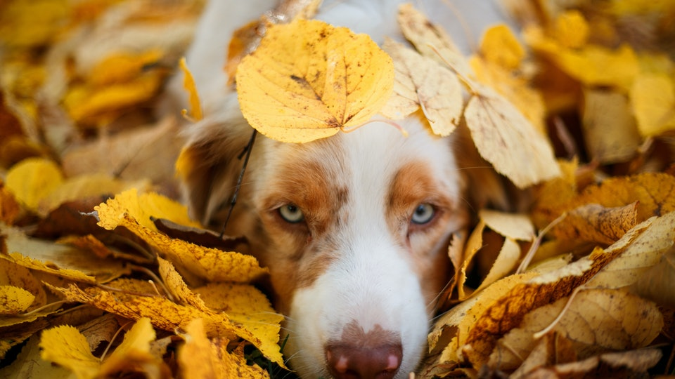 portrait of a dog lying in a pile of fallen leaves in autumn park, blue eye dog,  october dog names