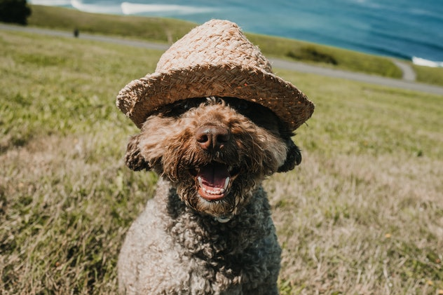 Friendly spanish water dog, playing in the park on a sunny summer day in the north of Spain. With the wind moving the hair of his face wearing a straw hat. Lifestyle.  october dog names