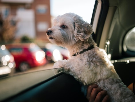 poodle dog looking out the window of a car