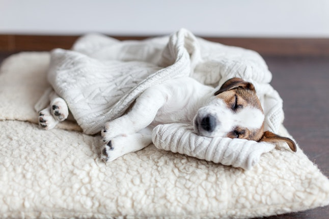 Sleeping puppy on dog bed. Dog jackrussell at home