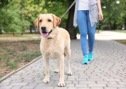 Woman walking Labrador Retriever on lead in park