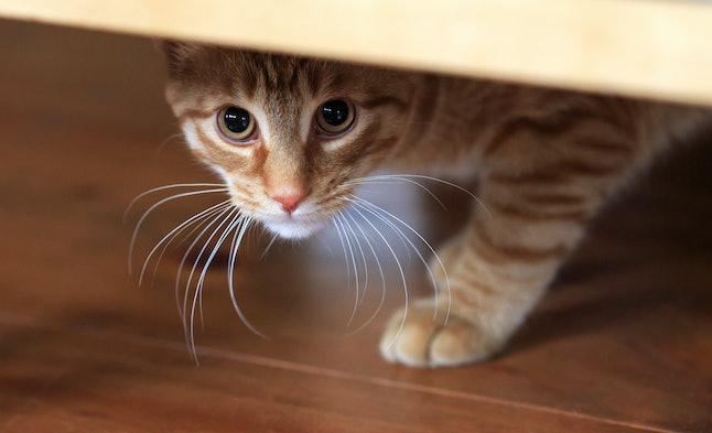 Orange tabby cat cautious looks out from under hiding place