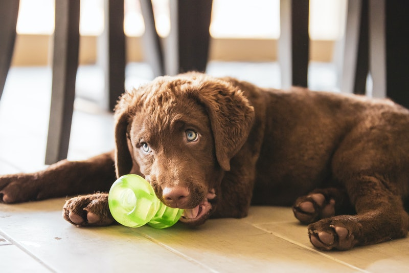 Dog plays with a chew toy