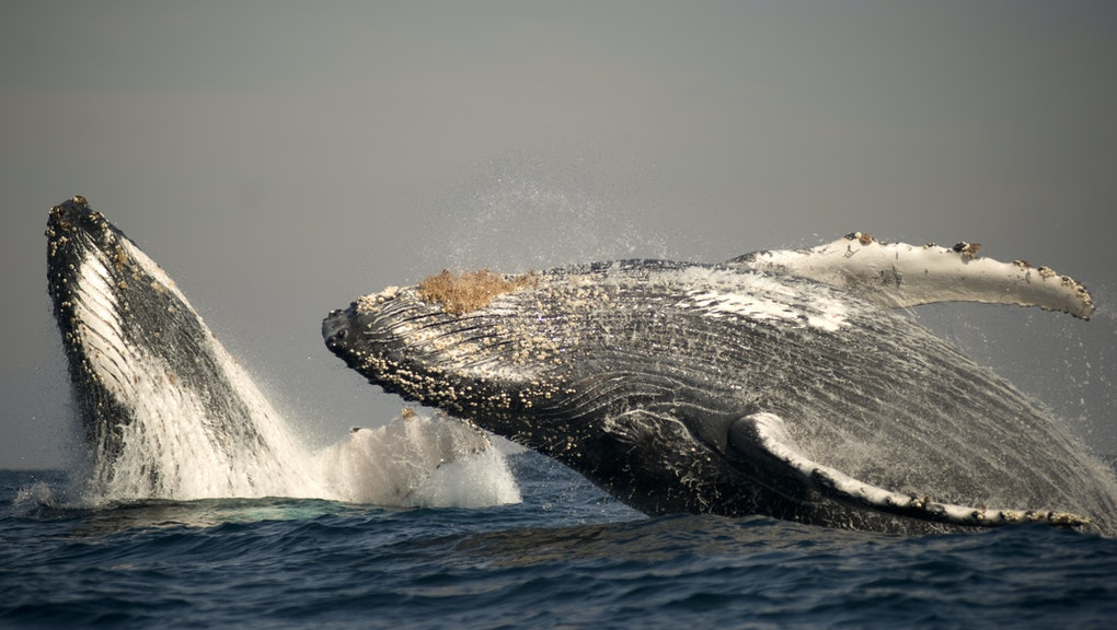 Humpback Whale (Megaptera novaeangliae) adult pair, breaching at surface of sea, offshore Port St. Johns, 'Wild Coast', Eastern Cape (Transkei), South Africa