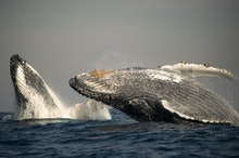 Humpback Whale (Megaptera novaeangliae) adult pair, breaching at surface of sea, offshore Port St. J...