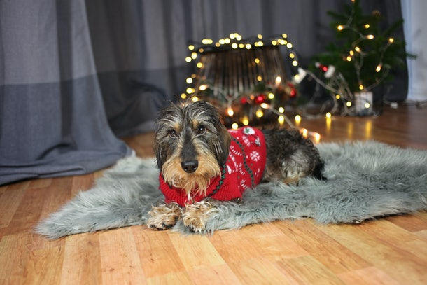 A dog relaxes on a rug at home while wearing his red holiday Christmas sweater.