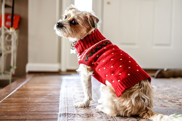 A dog wears a red holiday Christmas sweater at home while looking back at the camera and sitting on a rug.