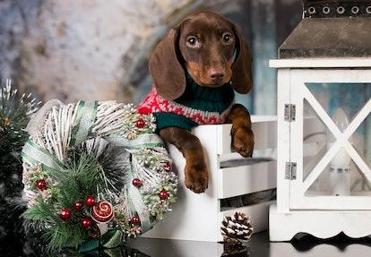 Puppy Christmas dog dachshund in retro decjrations