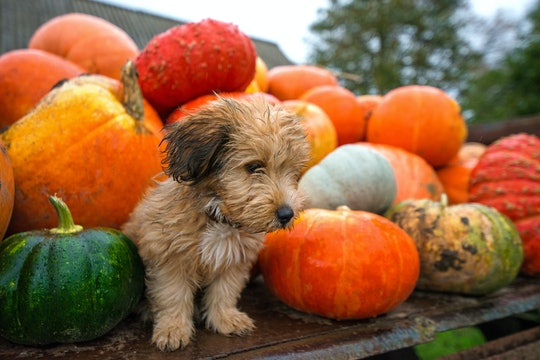 Cute, wet puppy is sitting in trailer with pumpkins during rain storm and bad weather, autumn background