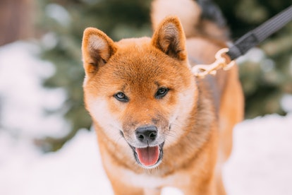 dog Akita inu for a walk.Japanese dog Akita