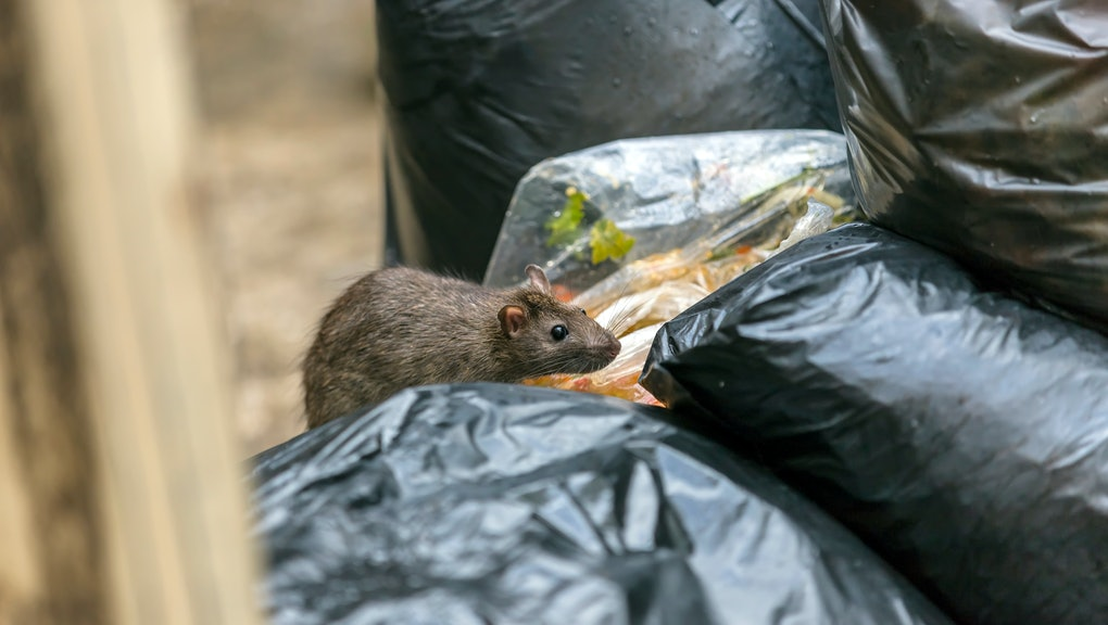A rat is walking on a dump to eat food. Stinky and damp. Selective focus.