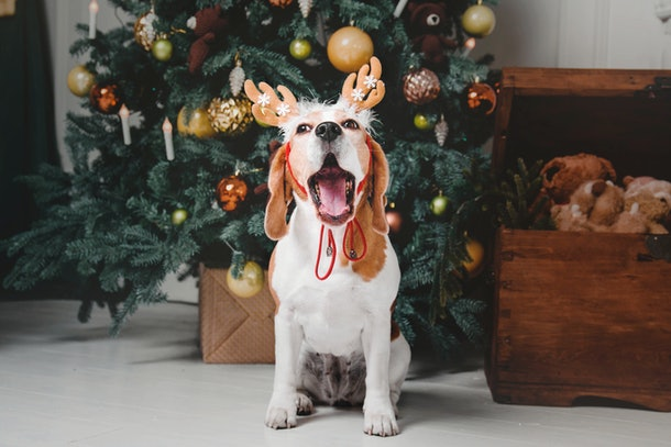 An adorable beagle wearing antlers sits next to a Christmas tree and box of dog toys.