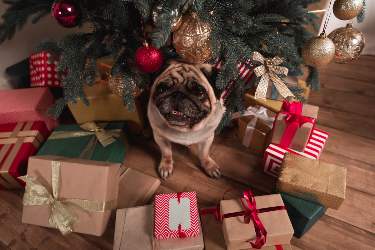 A pug sits under a Christmas tree with presents all around.