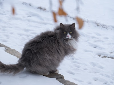 fluffy gray cat in snow